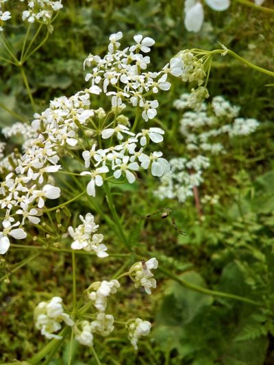 Umbrellate plant with hunting spider Flower Nature White Color Fragility Plant Beauty In Nature Green Color Day Growth Freshness Flower Head Umbrella Plant Summer Anthriscus Spider Hunter Insect Close-up Outdoors No People Umbelliferae Apiaceae