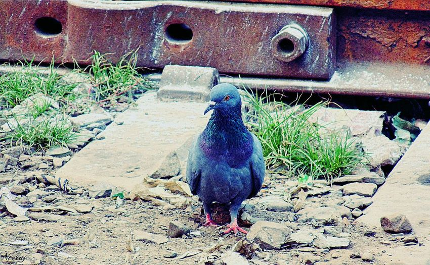 Feel The Journey Pigeon On The Railway Track To Finding Some Food. First Eyeem Photo