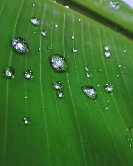 Water Droplets BananaLeaf India Incredible India Culture Of India Indianbeauty Southindianstyle Southindiantradition Macro Macro_collection Macro Photography Eyeemmacro EyeEm Best Shots Check This Out EyeEm Gallery Note5photography Samsung Macrobeauty