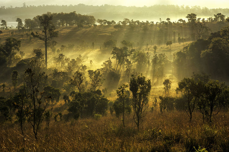 The sun shines into the sloping thung Salang Luang , savanna forests in Thailand. National; Thailand; Beauty In Nature Day Fog Forest Growth Hazy  Landscape Luang; Salang; Mist Nature No People Outdoors Scenics Sky Sunlight Tranquility Tree Tree; Outdoors; Growth; Rural; Foliage; Sunset