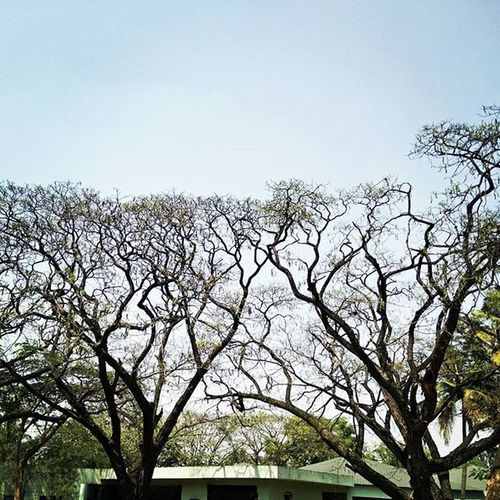 Tuesdayblues Office Lunchbreak Photograph Outdoor Outdoorphotography Spring Summer Trees Lshed Leaves Clearbluesky Nakedtrees OneplusShot Oneplustech Onepluscam Igers Igers_world Storiesofindia Igersbangalore Instapic Instaedit Myblr