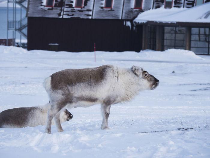 Reindeer Standing On Snowy Field During Winter