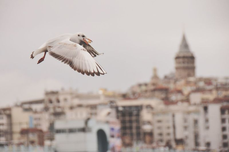 Seagull Galata Tower Galata Over Haliç Check This Out