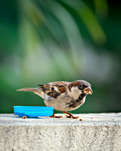 Shallow depth of field, isolated image of a male sparrow eating on wall with clear green background.