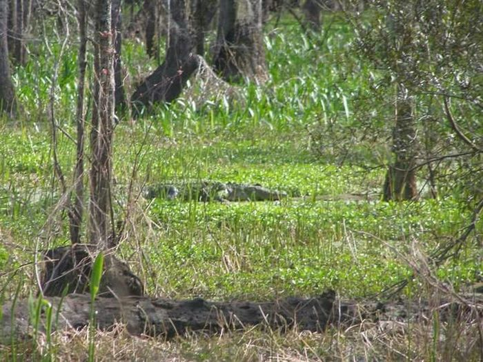 Louisiannaswamps Alligator Swamp
