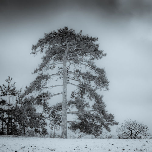 Pine tree on snow - vincennes - France Winter Snow Tree Cold Temperature Plant Nature Land Sky Beauty In Nature Covering No People Field Tranquility Day Environment Growth Non-urban Scene Tranquil Scene Scenics - Nature Outdoors Snowing Pine Tree Extreme Weather Coniferous Tree Blizzard
