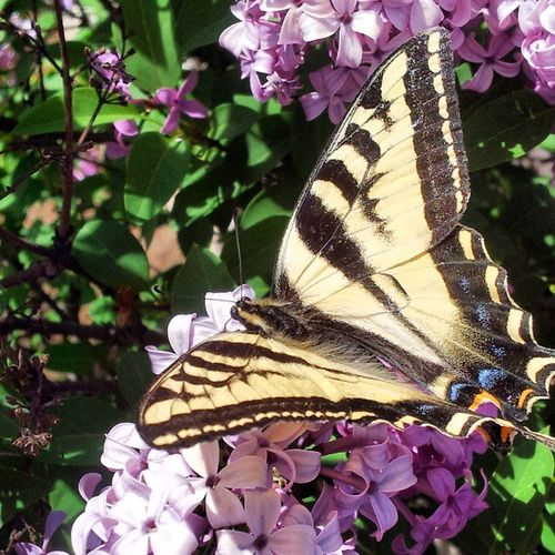 Springtime i took this pic w my phone at my grandma's house. miss her soooo much, this reminded me shes still in her garden. Butterfly Flowers Grandma Love Chokeoutcancer Chokeouttv Assyrian Turlock Youssefpour
