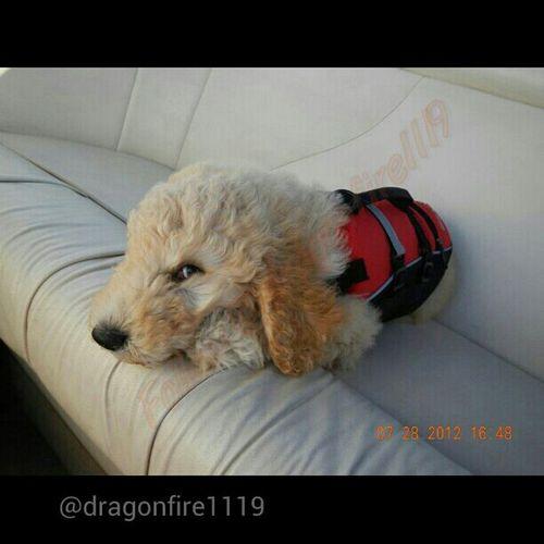 Dog Stewie Puppy Labradoodle