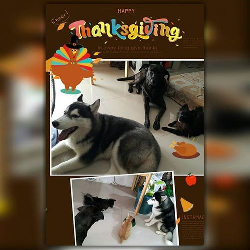 Happy Thanksgiving! Thank you God! We are all blessed!🎉🍸🐈🐕 Furryfriend Thanksgiving Buster Bruno Twilight Bella November2015 Officialdoglover Dogsofinstagram Dogs Pets