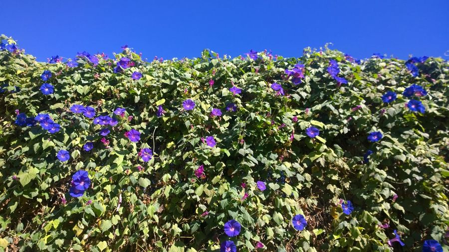 blue wall Blossom Blossoms  Blue Blue Blossom Blue Blossoms Blue Sky Nature Nature Beauty Nature Photograhy Nature Photography Plant Plants Plants And Flowers Sky Summer Summertime