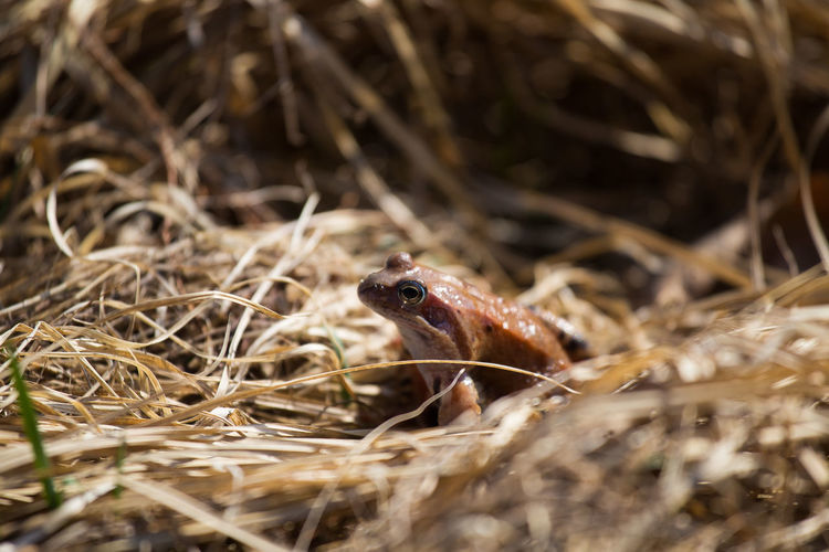 A beautiful brown frog sitting on the dried grass in spring Frog Animal Animal Themes Animal Wildlife Animals In The Wild Brown Day Nature No People One Animal Outdoors Plant Selective Focus Vertebrate