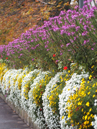 Beauty In Nature Close-up Day Flower Flower Head Flowerbed Fragility Freshness Multi Colored Nature No People Outdoors Plant Purple