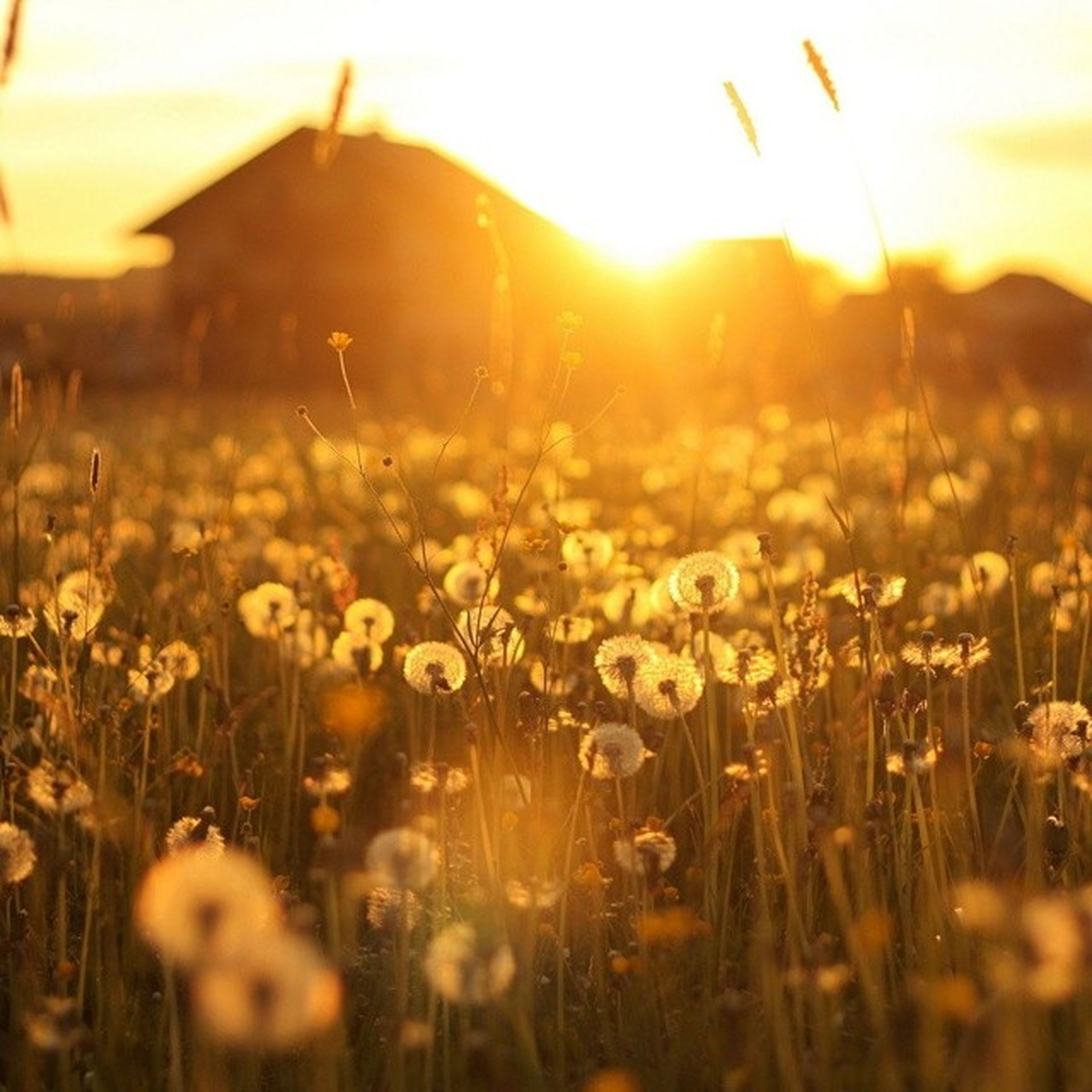 flower, sunset, growth, field, beauty in nature, focus on foreground, sun, plant, nature, freshness, sunlight, fragility, sunbeam, selective focus, yellow, lens flare, landscape, rural scene, close-up, sky