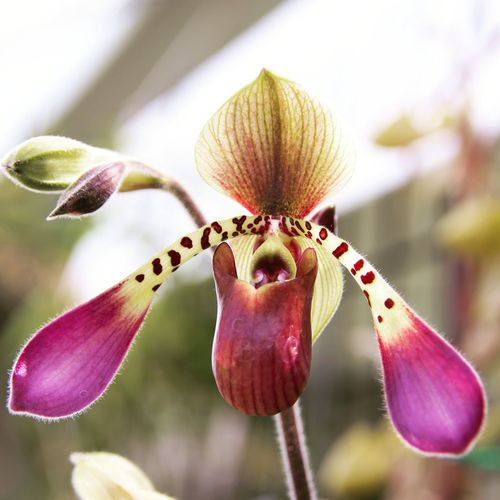 Orchid Orchid