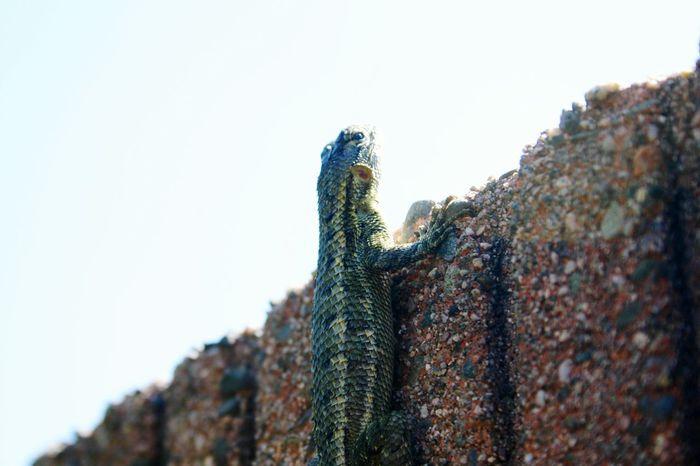 Lizard Backyard Jungle Close-up Outdoors Backyard Photography Nature Beauty In Nature No People Buglife Crotaphytidae Block Wall Dinosaur California Native Reptile Maximum Closeness