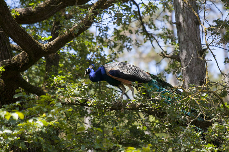 Side view of peacock perching on branch