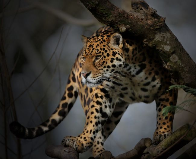 Low Angle View Of Leopard On Tree Trunk