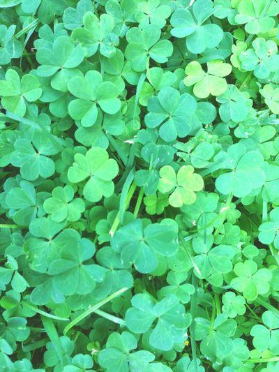 Lucky? Clover Trebol Nature Green