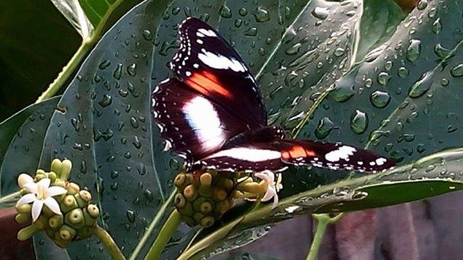 Kupukupu Butterfly Natgeoindonesia Nature Alamindonesia FloraANDfauna 1day1klick Wepe67photography