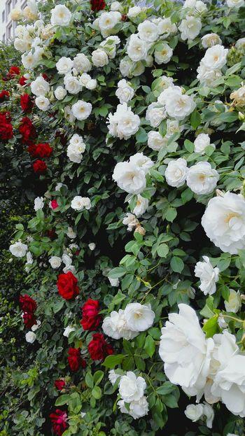 Life In Beijing Honor6 Beijing This Is Where I Live... Flowers FlowerTaking Photos 花重锦官城,帝都繁花似锦的五月。
