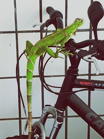 No People Pets One Animal Repit Bike Bicicleta Biclycles Camaleon Camaleão Lagarto Lagartos