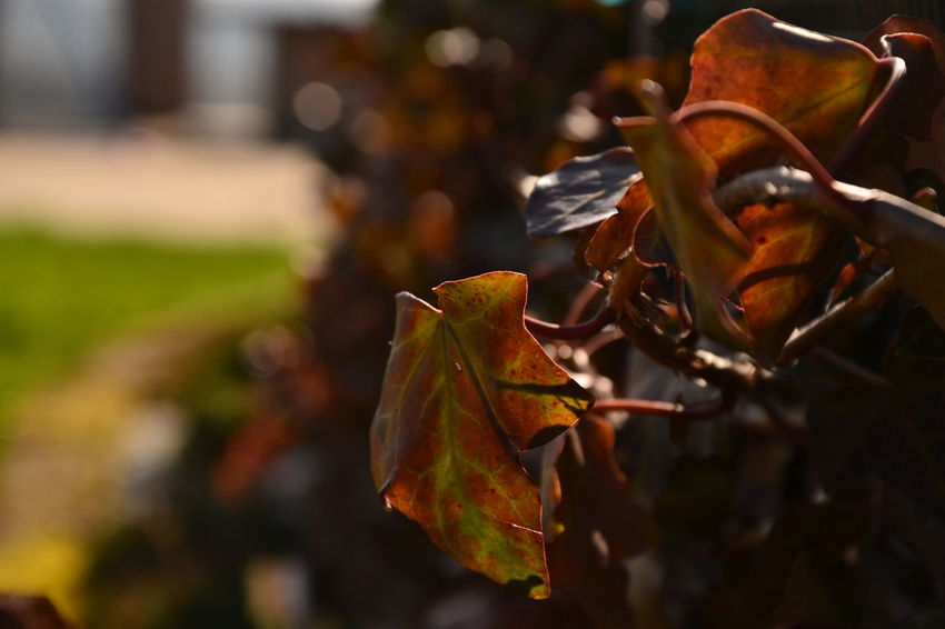 Autumn Beauty In Nature Change Close-up Day Focus On Foreground Fragility Garden Leaf Maple Maple Leaf Nature No People Outdoors