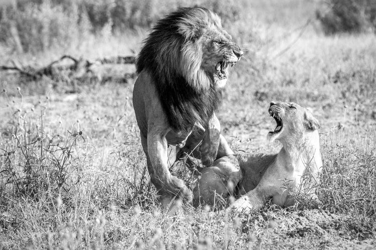Mating couple Animals In The Wild Beautiful Beautiful Nature Lion Nature Nature Photography Travel Traveling Wildlife & Nature Wildlife Photography Africa African Beauty Animal Themes Animals Animals Photography Feline Lions Mammal Nature_collection Predator Safari Animals Wild Wilderness Wildlife