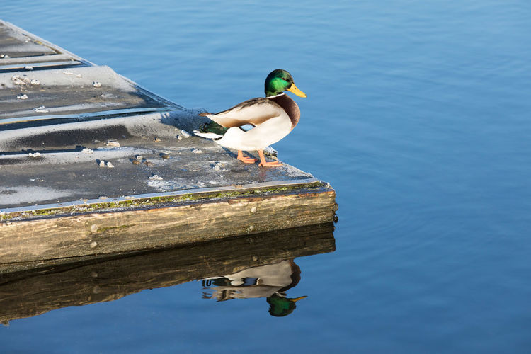 Bird Duck Ente Ente Am Fluss River Steg Stockende First Eyeem Photo