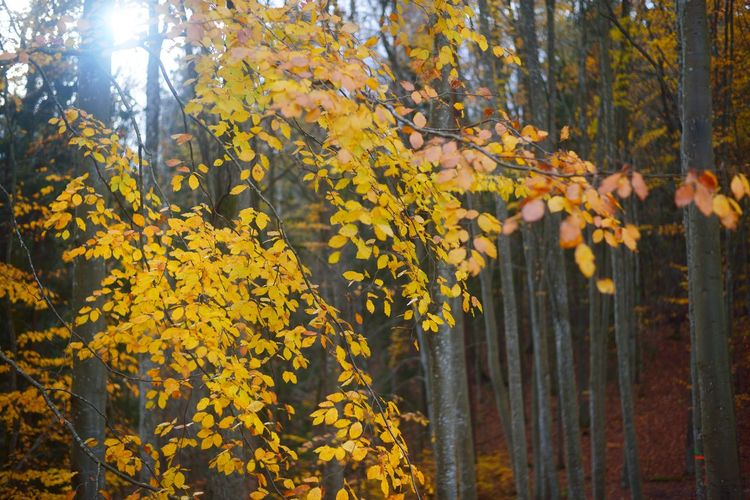 Yellow autumn trees in forest