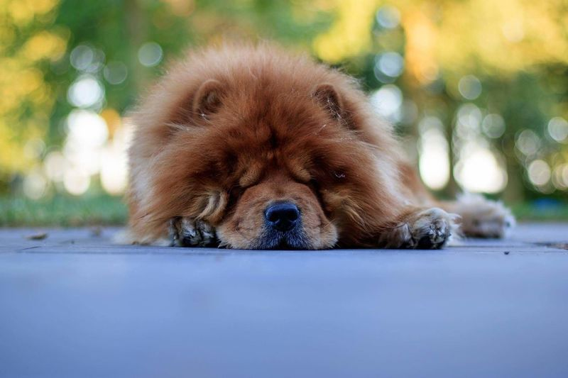 Sleeping Dog ChowChow Outdoors Nature Canonphotography Pets Check This Out Dog Love Dogs Dogslife Chilling Bokeh Animal Themes Animal