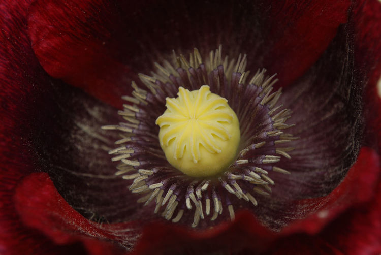 Beauty In Nature Black And Red Flower Close-up Flower Flower Head Pollen Poppy Flower Red Yellow Centered Flowers