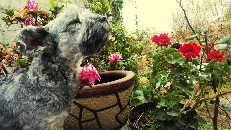 natural Dog Snauzer Flower Tree Flower Head Chair Front Or Back Yard Table Plant Close-up Domestic Garden First Eyeem Photo