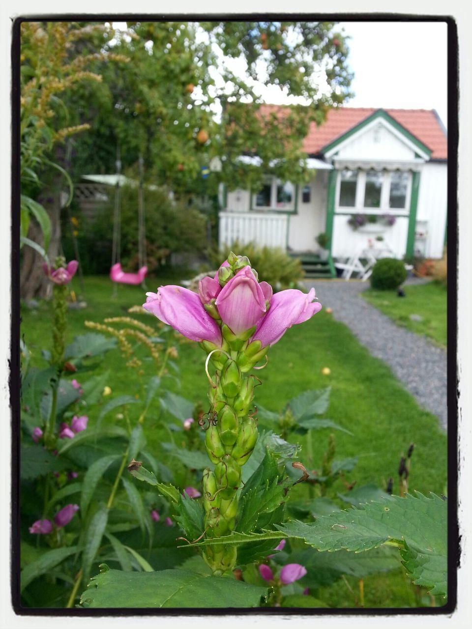 Pink Flower Buds In Backyard