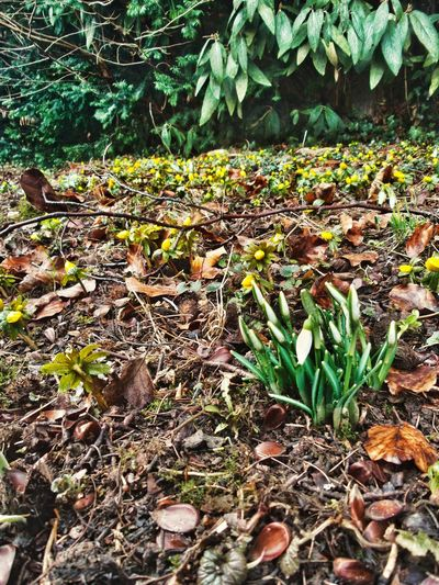 Waiting For Spring In The Garden Now Cold Days Sensitive Little Yellow Flowers Dried Leafs On The Ground Growth Plant Leaf Nature Beauty In Nature Tree No People Outdoors Close-up Fragility Freshness Green Color Day Germany🇩🇪 Winterlinge
