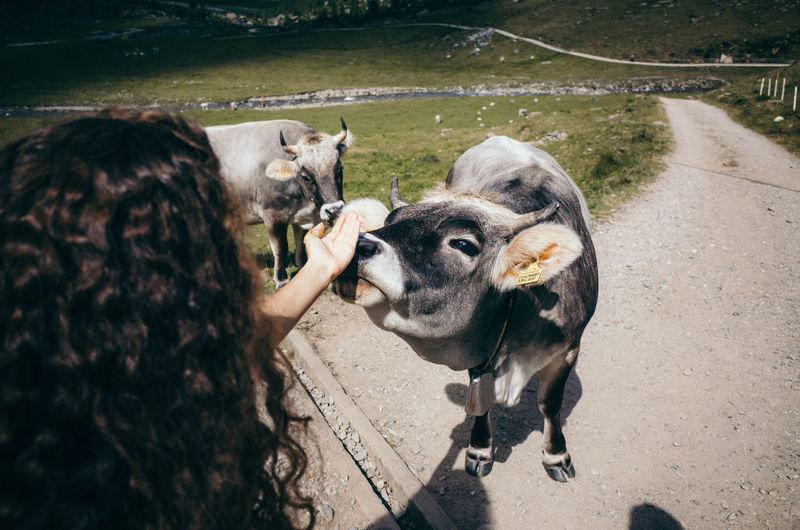 Cropped image of woman touching cow