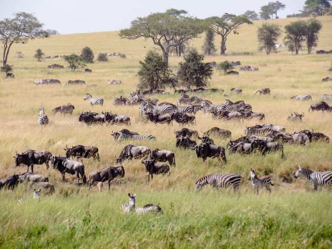 African Great Migration African Safari Animal Themes Animal Wildlife Animals In The Wild Gnu Great Migration Herd Large Group Of Animals Migration Safari Safari Adventure Safari Animal Safari Animals Tanzania Veld Wild Animals Wildebeest Migration Wildlife Wildlife & Nature Wildlife And Nature Wildlife Photography Wildlife Photos Wildlifephotography Zebra Herd Zebras