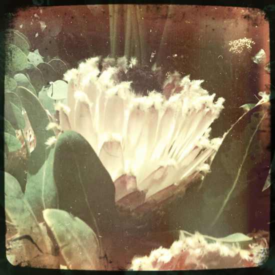 Protea Blossom Vintage Style Brightly Lit Close-up Flower Flower Head IPhone Photography Sugarbush White