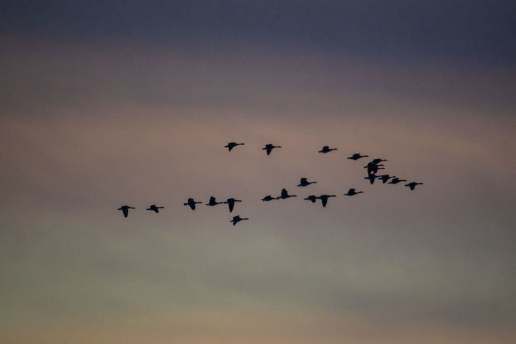 Canada Coast To Coast Geese Geese Family Canadian Geese Flying Sky Animal Themes Animals In The Wild Group Of Animals Animal Bird Vertebrate Animal Wildlife Low Angle View Flock Of Birds No People Nature Large Group Of Animals Cloud - Sky Silhouette Mid-air Motion Togetherness Beauty In Nature Outdoors Plane