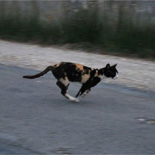 Gato Vadio