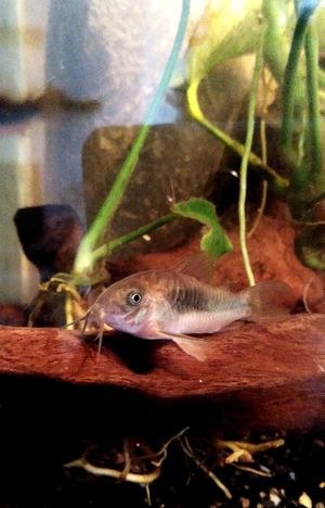 corydoras Phish Corydoras One Animal Animal Themes Animals In The Wild Animal Wildlife No People Close-up Reptile