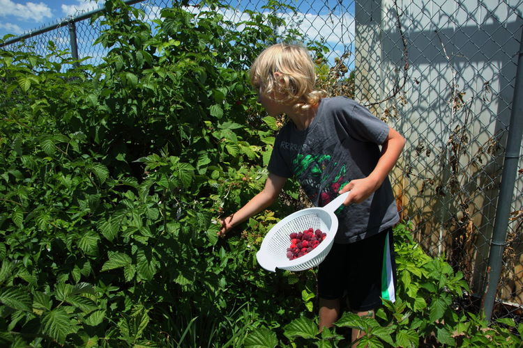 Boy Picking Raspberries In Back Yard