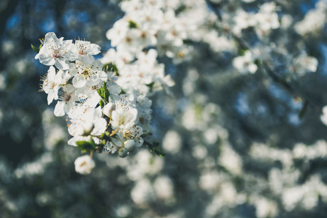 Beauty In Nature Blooming Blossom Branch Cherry Blossom Close-up Flower Flower Head Focus On Foreground Fragility Freshness Growth In Bloom Kerber Macro Nature Nature Nature Photography Petal Plant Selective Focus Springtime Tree White Color
