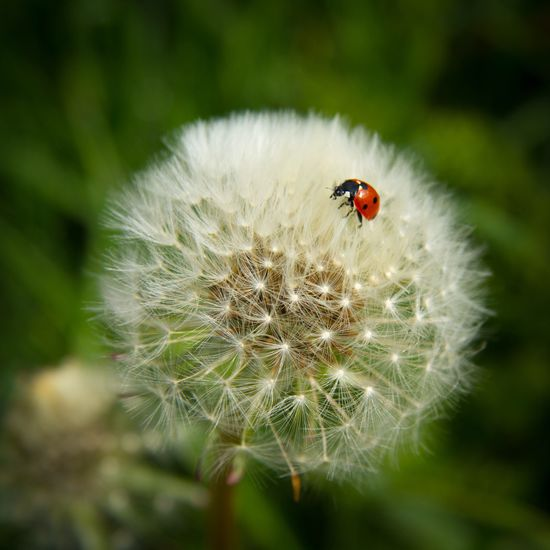 Ladybug Ladybird Nature Dandelion Wild Red Wildlife Balance Fragility Beauty In Nature Insect Perspectives On Nature