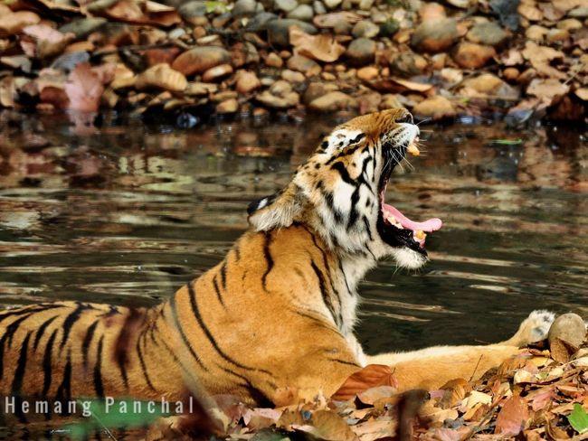 Beast yawn #junglelife #naturalhabitate #Tiger Animal Themes Animal Wildlife Animals In The Wild Mammal Tiger One Animal Big Cat Mouth Open First Eyeem Photo