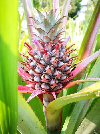 Pine Apple Plants 🌱 Nature_collection Seed Nature Plant Flower Growth Beauty In Nature Insect Close-up