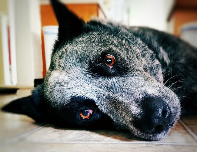 Close-up portrait of australian cattle dog relaxing on floor at home