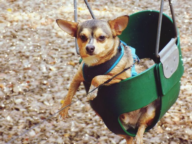 Swing baby Chihuahuasarespecial Chihuahualove Chihuahua Chihuahua Love ♥ Chihuahuaoftheday Chihuahuasofinstagram Chihuahuapower Chihuahuaworld Chihuahuastyle