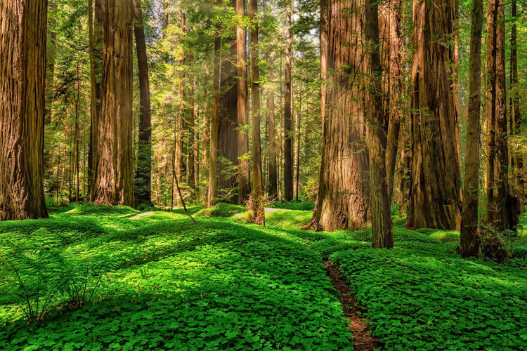 Giant redwoods in a northern California forest. Forest Redwoods Redwoods California California Sorrel Clover Clovers  Landscape Landscape_Collection Landscape_photography Sun Sunlight Sunlight And Shadow Shadow Colors Colorful Amazing Tall - High Huge