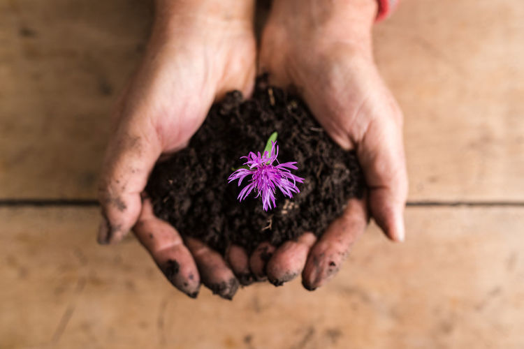 High angle view of hand holding purple flower