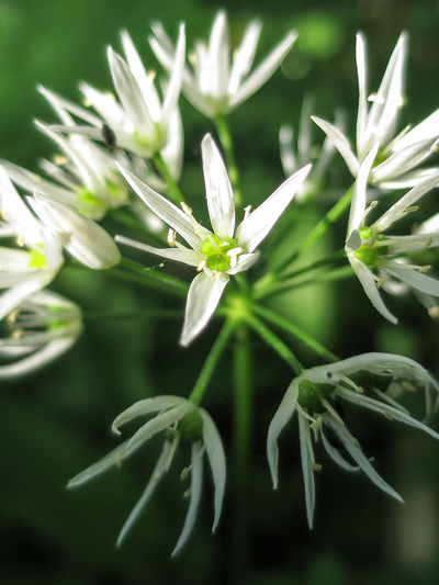 Ramsons Close-up Nature Reserve Flower